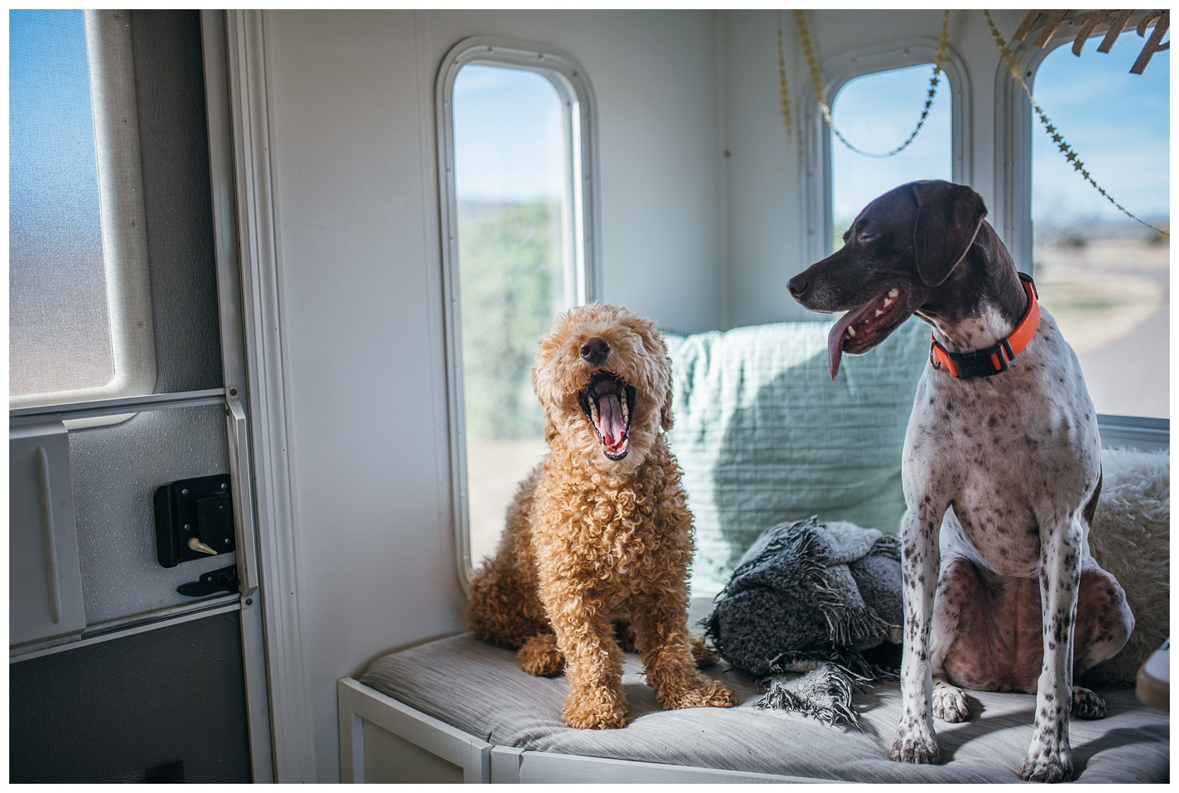 golden doodle and german shorthaired pointer
