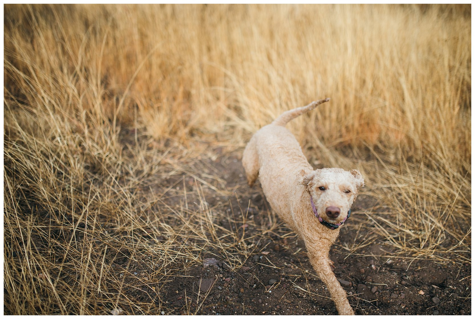 Golden doodle running around in the tall grass